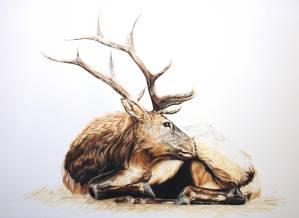 Roosevelt elk, resting