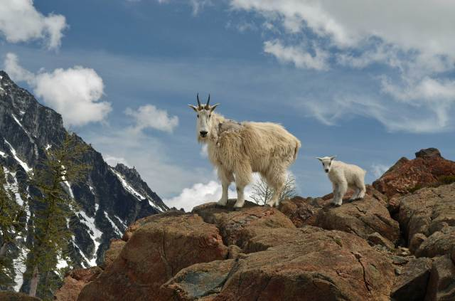 Mountain goat and baby, Ingalls Pass, copyright Monica Van der Vieren