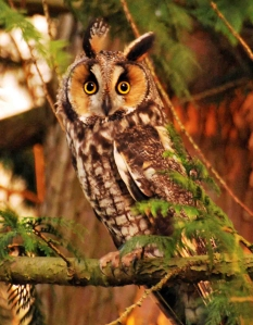 Long-eared owl at my house; attention posture