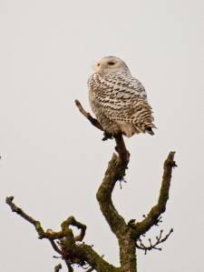 Snowy owl, Boundary Bay, Vancouver, Canada