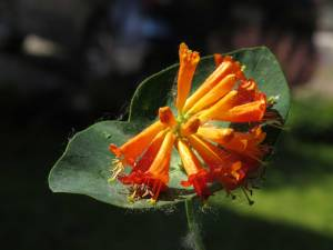 Orange trumpet honeysuckle, a native with flower length better suited to hummingbirds than some cultivars