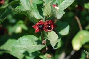 Twinberry is a twining shrub with flowers for hummingbirds and berries that waxwings love