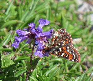 Checkerspot on penstemon