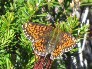 Fritillary- maybe Arctic female, not sure