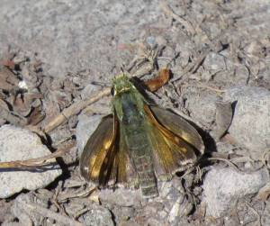 Juba Skipper, first time I've seen one