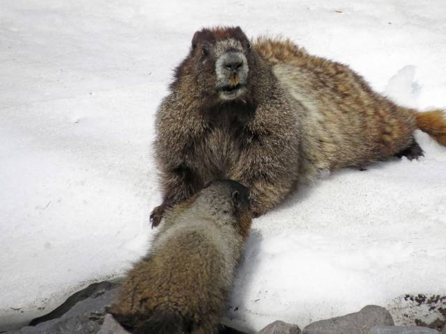 Marmots chillin' on a hot day