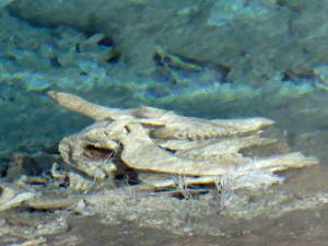 Remains of victim, Heart Lake Geyser Basin