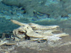 Remains of victim, Heart Lake Geyser Basin
