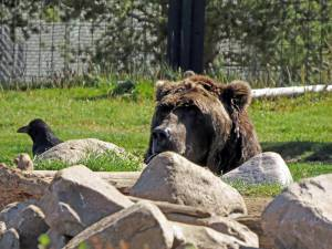 "A ""bad bear"" lives the best life it can inside a fence at the Grizzly and Wolf Discovery Center. He will never return to the wild after habituation to human food, but at least he is alive!"