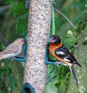 Black-headed grosbeak at a seed feeder