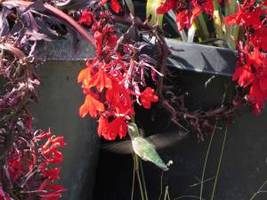A flowering lobelia attracts hummingbirds even in a pot