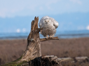 A snowy owl unwilling to become habituated during a rare wintertime visit to Boundary Bay, Delta, B.C.