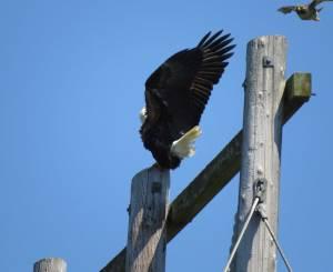 EagleHawk1