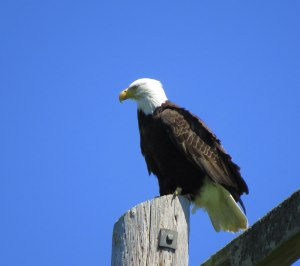 EaglePowerPole