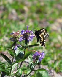 Swallowtail visiting flower