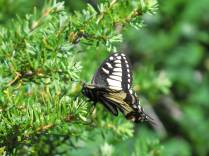 Anise Swallowtail on a shrub