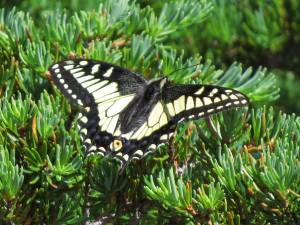 Anise Swallowtail at Skyline Divide