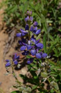 Gorgeous purple lupine, Skyline Divide