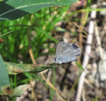 Another blue- there were different species