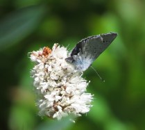 Northern blue (again, I think) on a flower