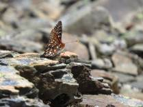 And another checkerspot
