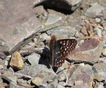 Another Checkerspot