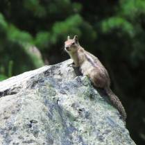 Chipmunk- this one was lean, but the one at my camp looked like a small, striped Volkswagen.