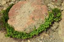 Halo of ferns around a rock.