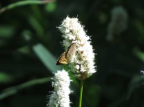 A copper butterfly (I think)