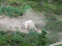 Goat taking a dust bath in a wallow