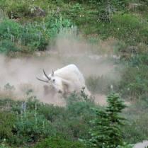 Goat taking a dust bath in a wallow