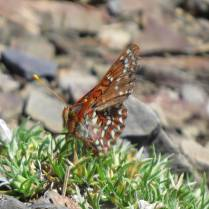Edith's Checkerspot (I think)