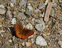 Fritillary at Lake Valhalla
