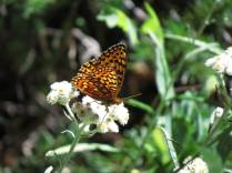 Another fritillary