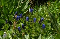 Gentians, a late summer flower.