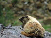 Marmot hanging out