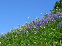 Lupines and a pretty white flower