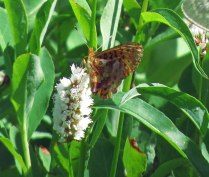 Perhaps a painted lady