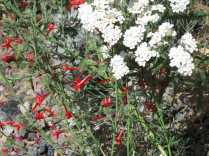 Scarlet gilia (I think) for red, white, but no blue in a cluster of flowers.