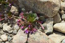 Another plant opportunist, succulent enough to survive the dry environment.