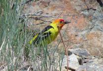 Western tanager with some sort of cricket.