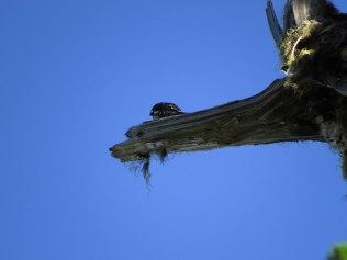 Woodpecker drumming at the Skyline Divide Trailhead