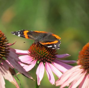 A late visitor- red admiral butterfly visiting a coneflower