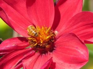 Open-faced dahlias continue feeding bees
