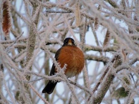 Frosty robin