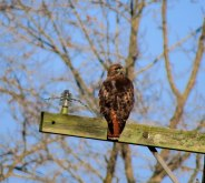 Red-tail hawk perching