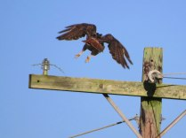 Red tail flying from pole