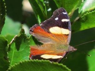 Butterfly, Zealandia