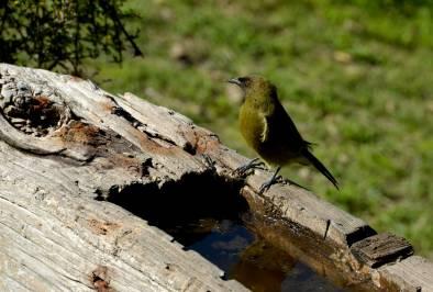 Bellbird on trough, Kapiti