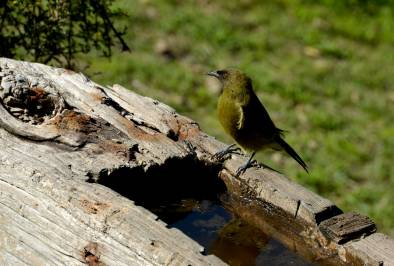 Bellbird on trough, Kapiti